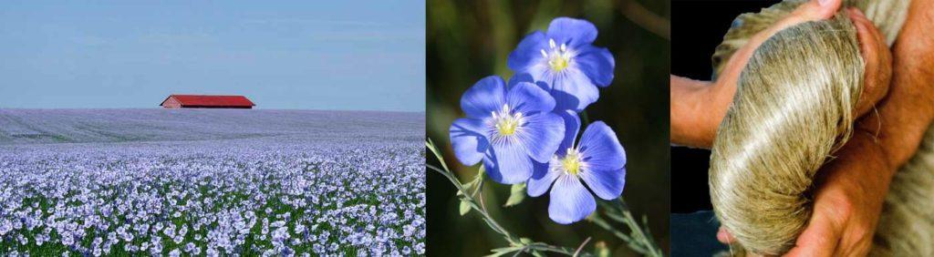champ de lin en picardie, fleur et fibre