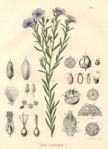 planche botanique du lin linum usitatissimum